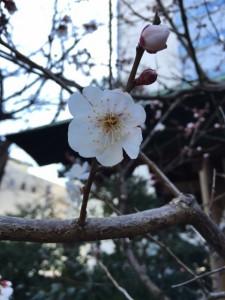 2016.3.1芝大神宮様の桜